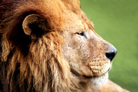 Male Lion Profile