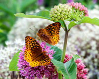 Great Spangled Fritilary Buttterflies