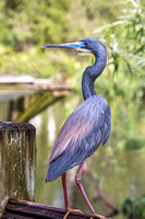 Tricolor Heron on Fence