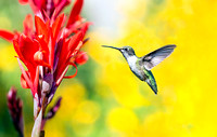 Hummingbird at Red Cana Flower