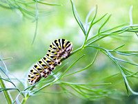 Hungry Butterfly Larvae Munching on Fennel