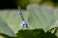 Blue Damselfly Looks at You