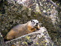 Yellow-bellied Marmot Closeup