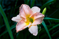 Soft Pink Day Lily