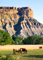 Badlands Cattle