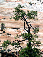 Tree with Checkerboard Mesa Behind, Zion NP, Utah