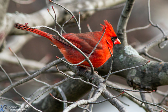 Cardinal and Budding Maple Twigs