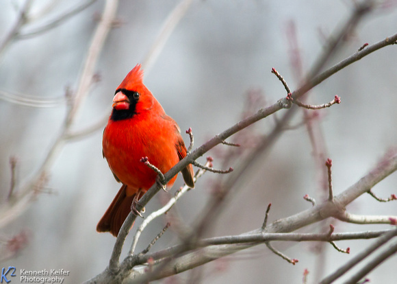 Cardinal in Maple