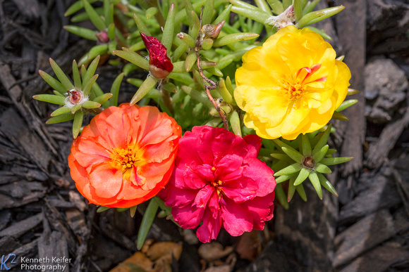 Three Portulaca Flowers