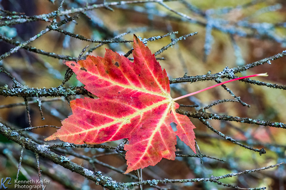 Maple Leaf in Twigs