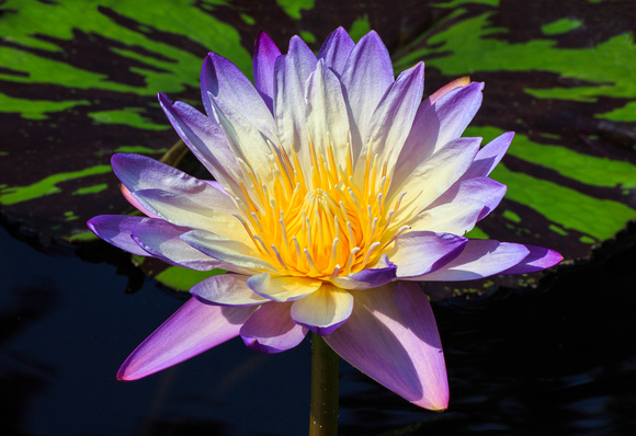 Purple Water Lily Flower