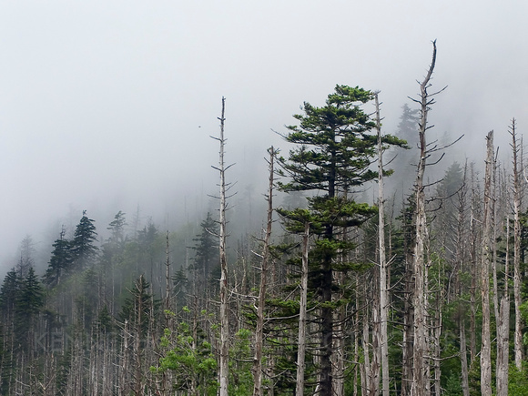 Pines & Snags in Great Smoky Mountains Nat'l Park