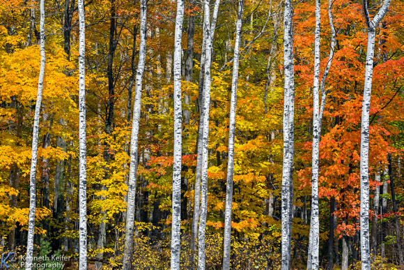 Autumn White Birch Wood