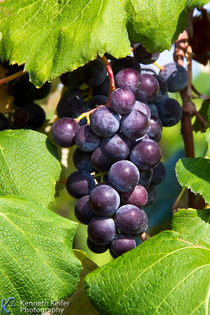 Purple Grapes Hanging Cluster