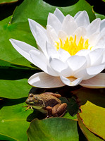 Frog and White Water Lily
