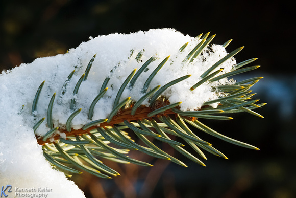 Snow and Pine Needles